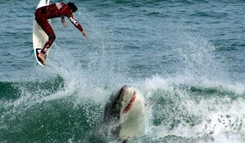 amazing pictures - shark waiting for surfer to fall