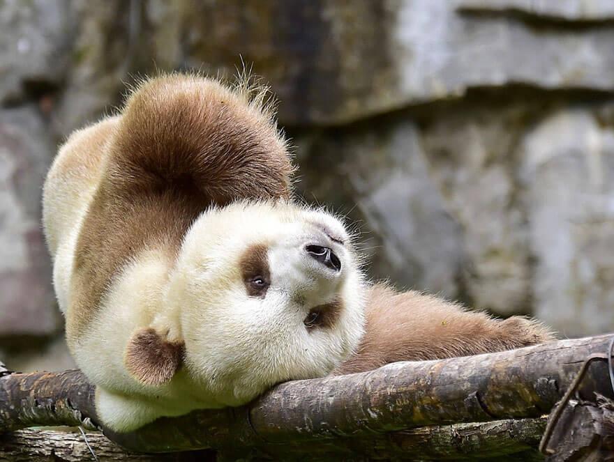 brown panda (1)