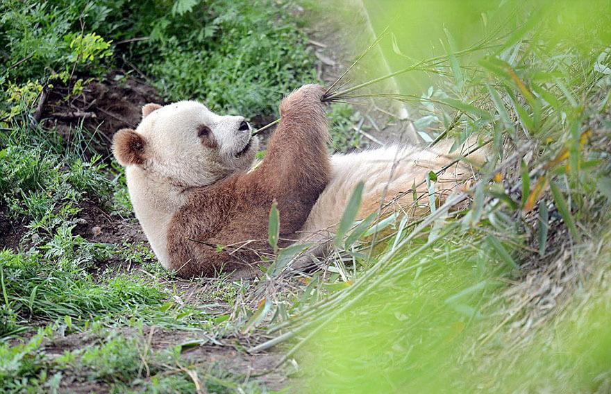 brown panda 10 (1)