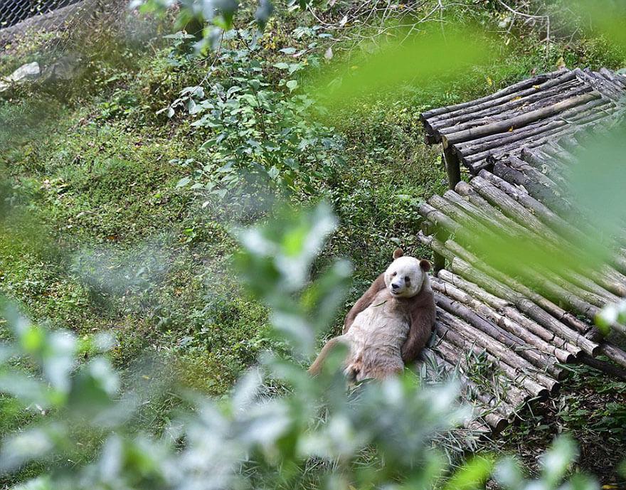 brown panda 11 (1)