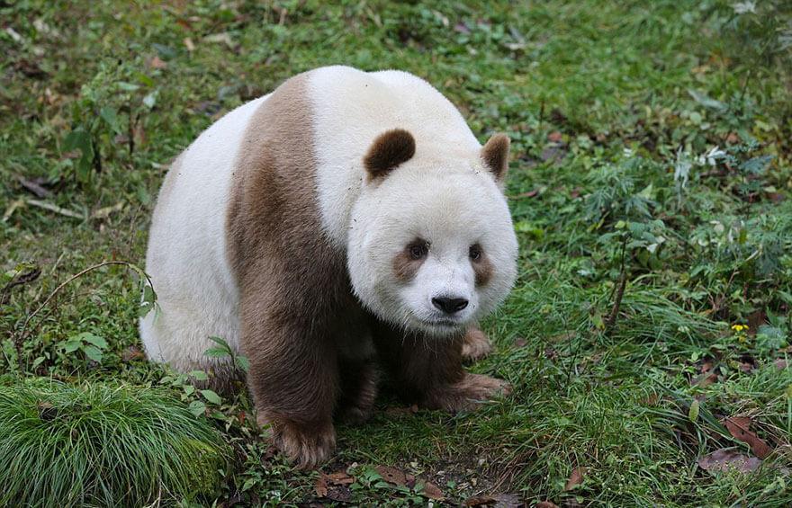 brown panda 2 (1)