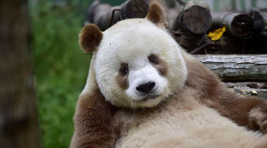 brown panda 3 (1)