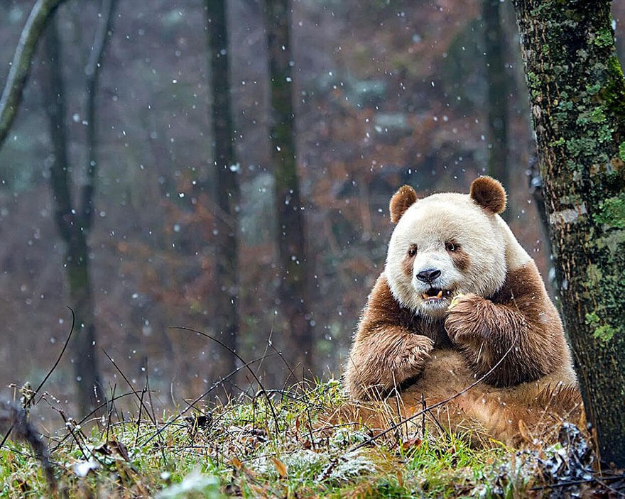 brown panda 4 (1)