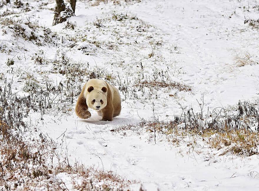 brown panda 5 (1)