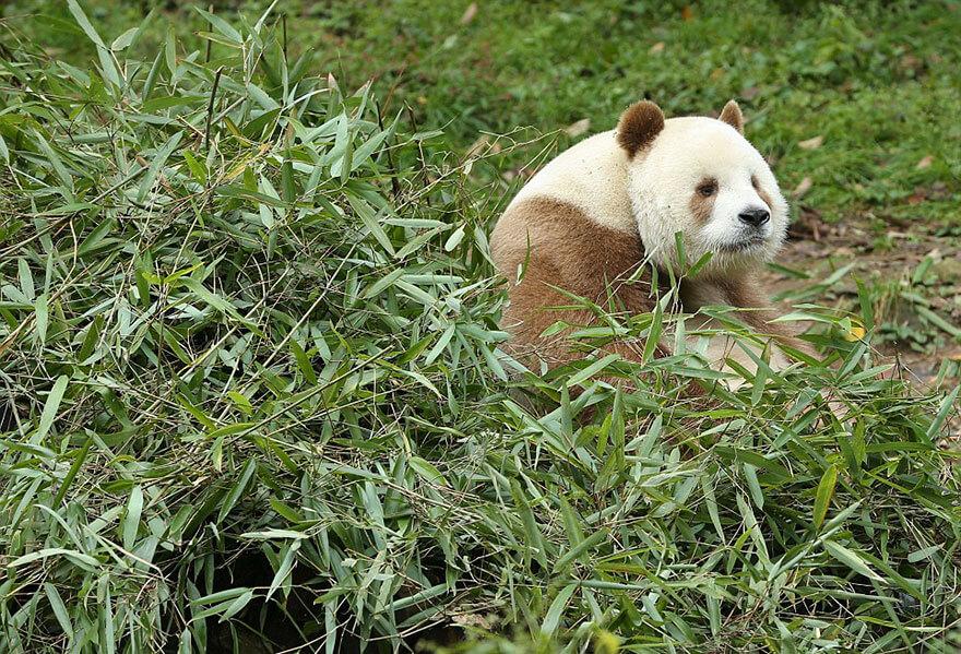 brown panda 6 (1)