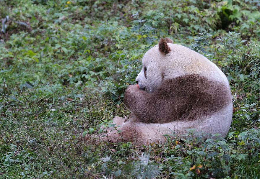 brown panda 7 (1)