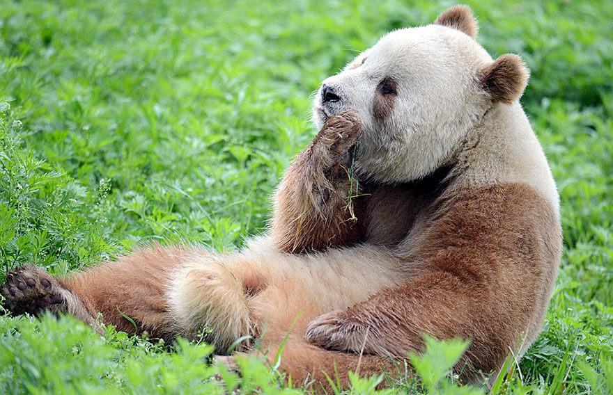 brown panda 8 (1)