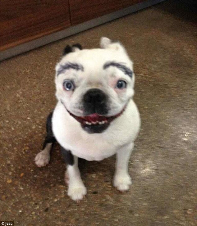 pooches with eyebrows 15 (1)