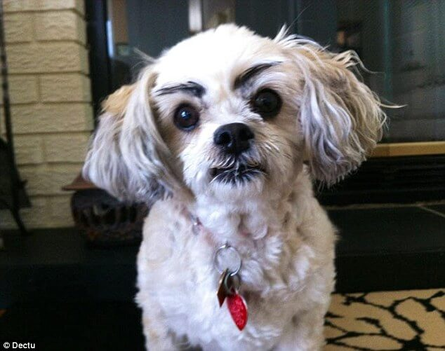 dogs with eyebrows 19 (1)