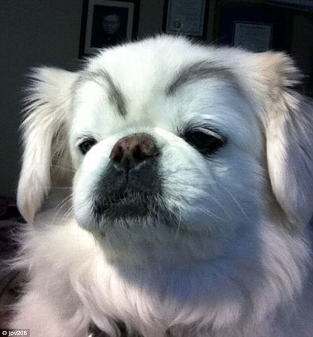dogs with eyebrows 20 (1)