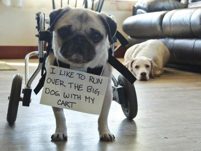 pug guilty 10 (1)