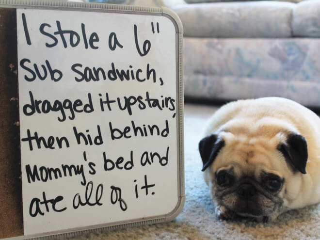pug guilty 12 (1)