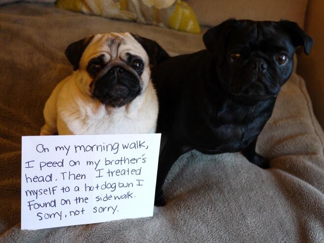 pug guilty 13 (1)