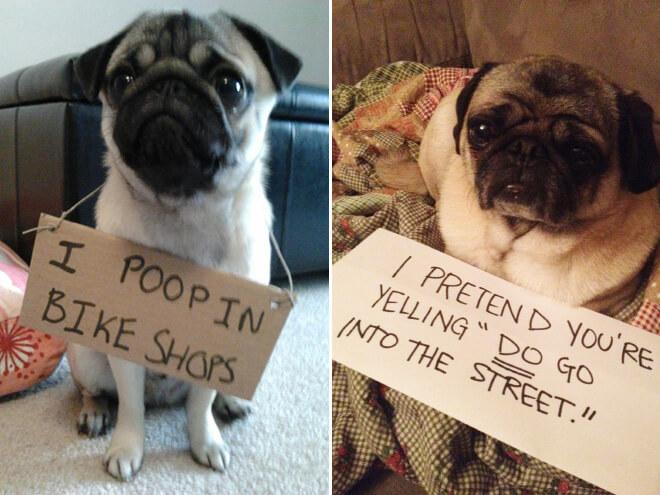 pug guilty 14 (1)