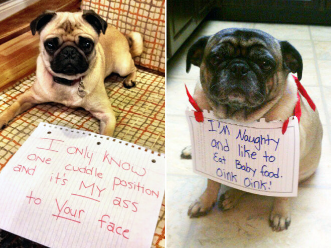 pug shaming 15 (1)
