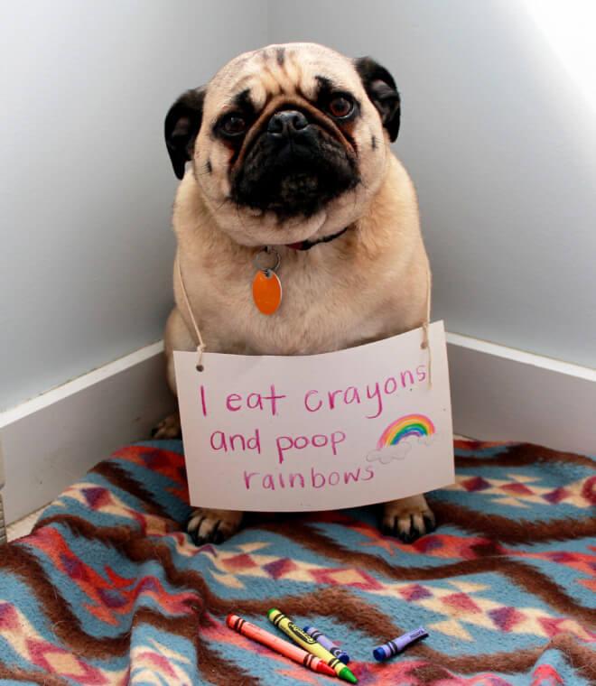 pug shaming 3 (1)