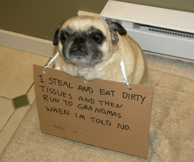 Dog Ate Some Rug: 15 Pug Shaming Pictures Of Pugs Who Did The Crime And Now