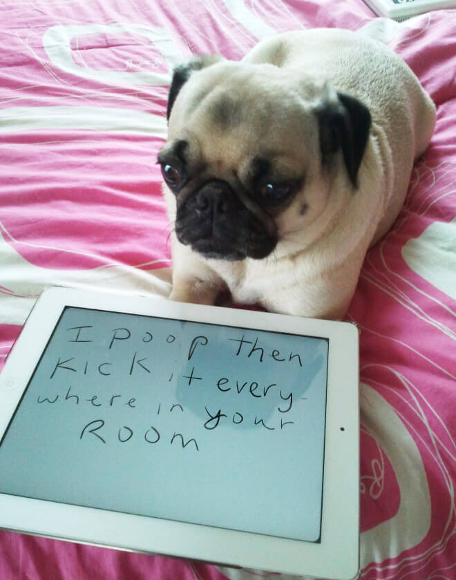 pug pooping 15 pug shaming pictures of pugs who did the crime and now doing the time 5322
