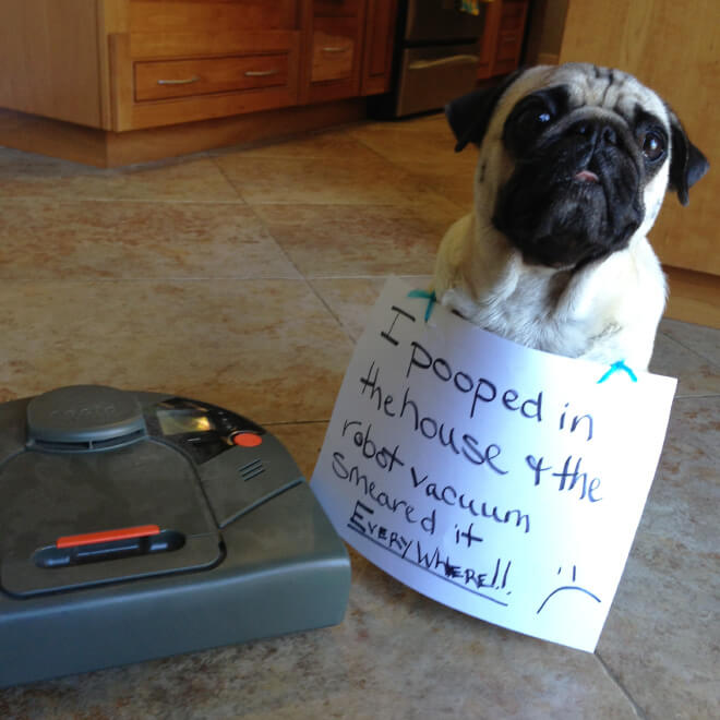 pug pooping 15 pug shaming pictures of pugs who did the crime and now doing the time 1557