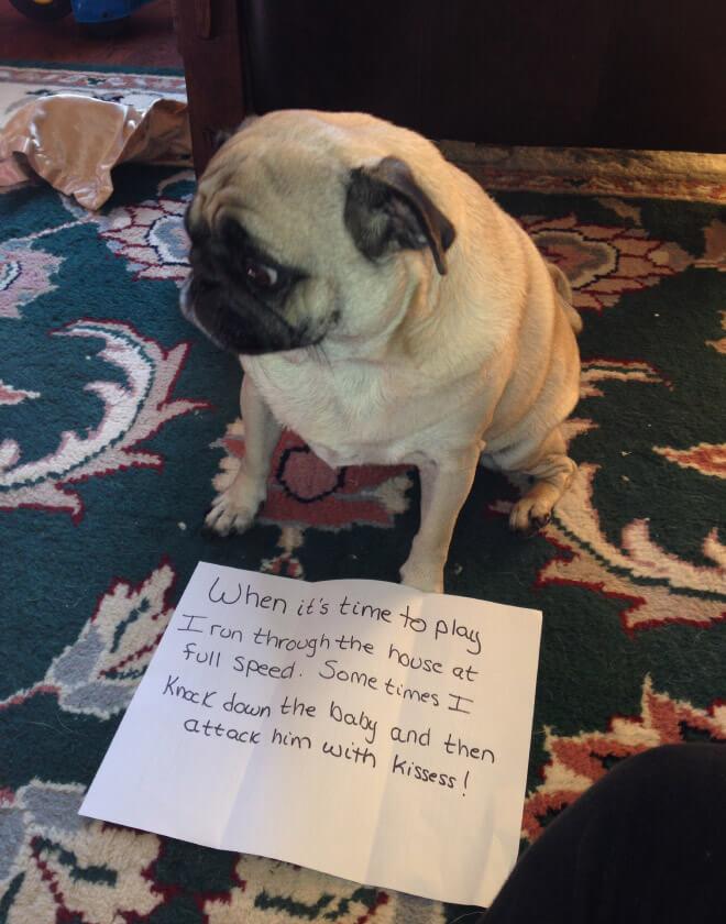 pug guilty 9 (1)