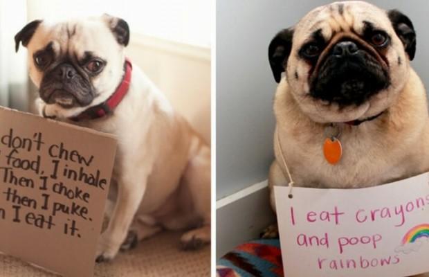 pug shaming feat (1)