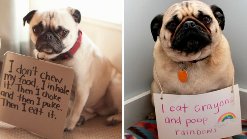 15 Pug Shaming Pictures Of Pugs Who Did The Crime And Now