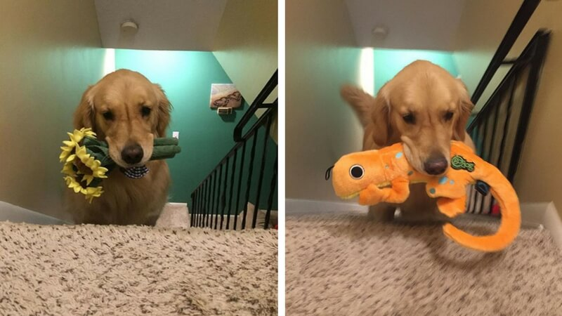 therapy dog brings toy to bed every night feat (1)