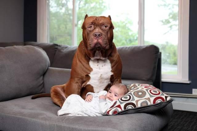 Hulk biggest pitbull babysitting (1)