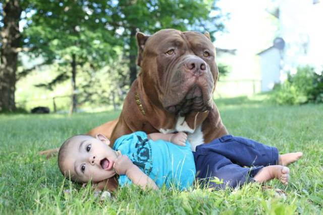 Hulk biggest pitbull babysitting 10 (1)
