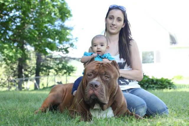 Hulk biggest pitbull babysitting 11 (1)
