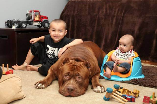 Hulk biggest pitbull babysitting 2 (1)