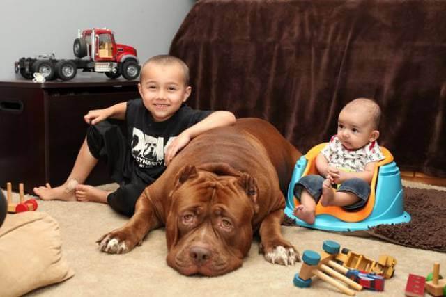 Hulk biggest pitbull babysitting 2 (1)