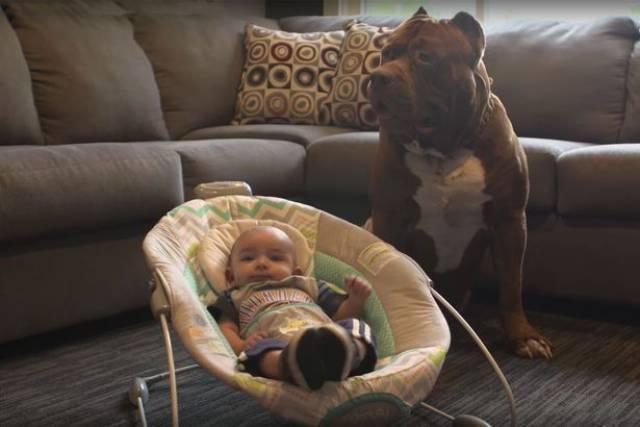 Hulk biggest pitbull babysitting 3 (1)
