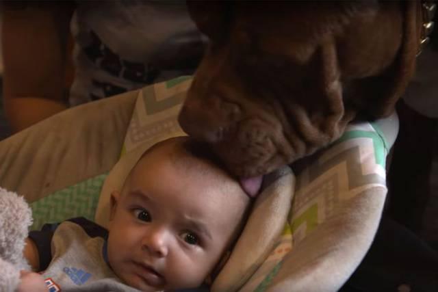 Hulk biggest pitbull babysitting 5 (1)