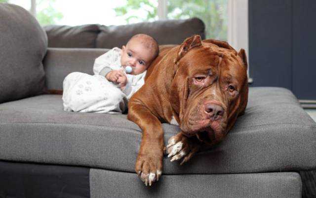 Hulk biggest pitbull babysitting 6 (1)