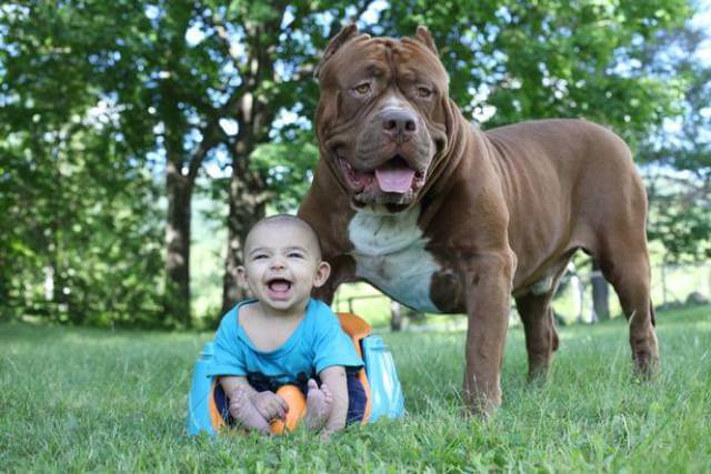 Hulk biggest pitbull babysitting 7 (1)