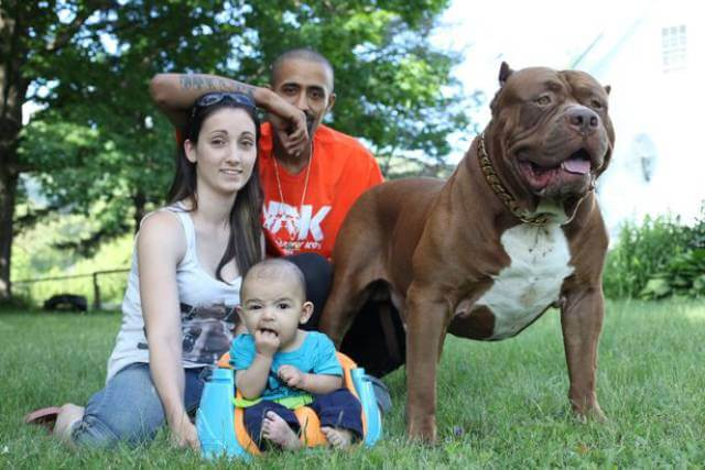 Hulk biggest pitbull babysitting 8 (1)