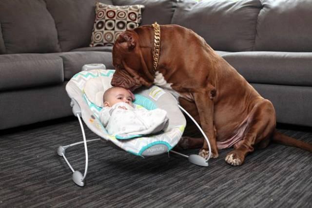 Hulk biggest pitbull babysitting 9 (1)