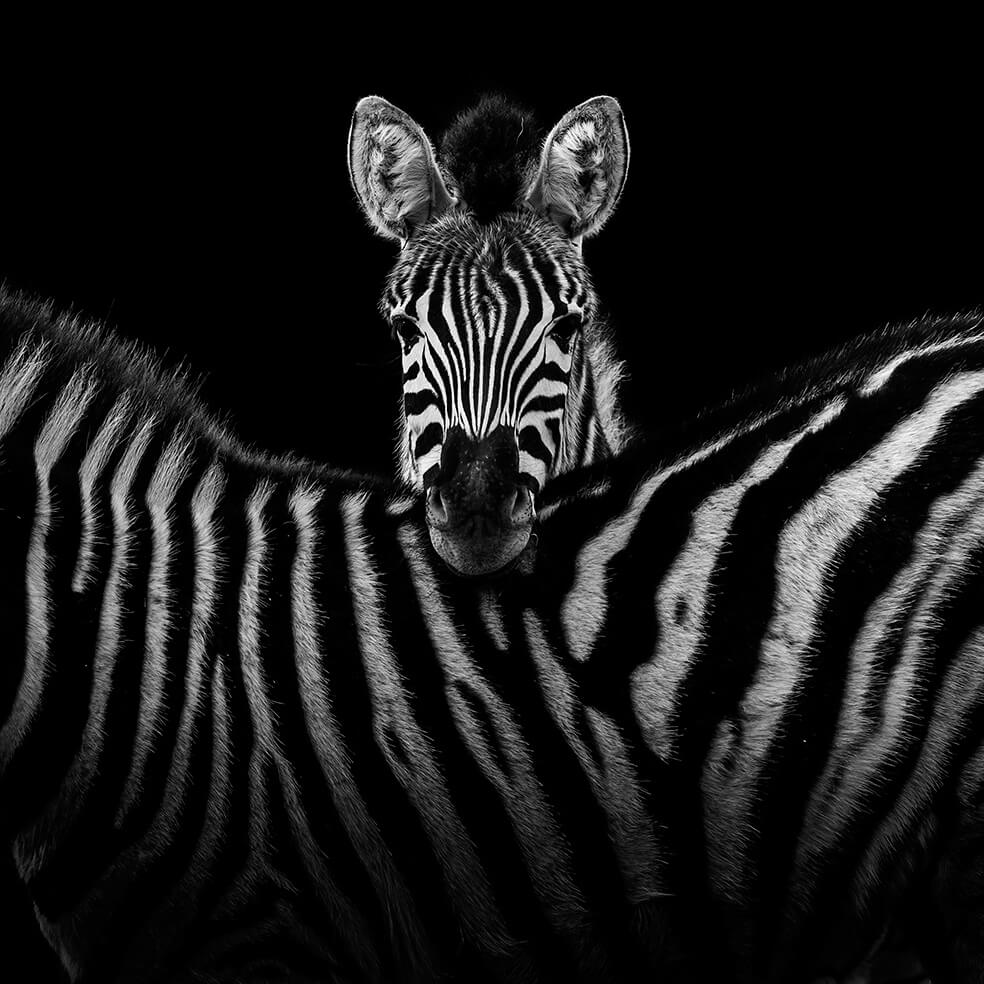 black and white animals 11 (1)