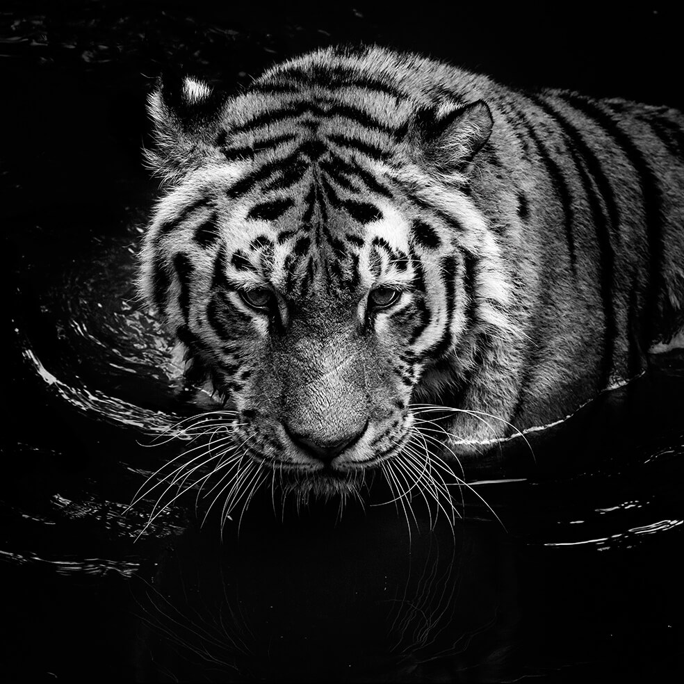 black and white animals 15 (1)