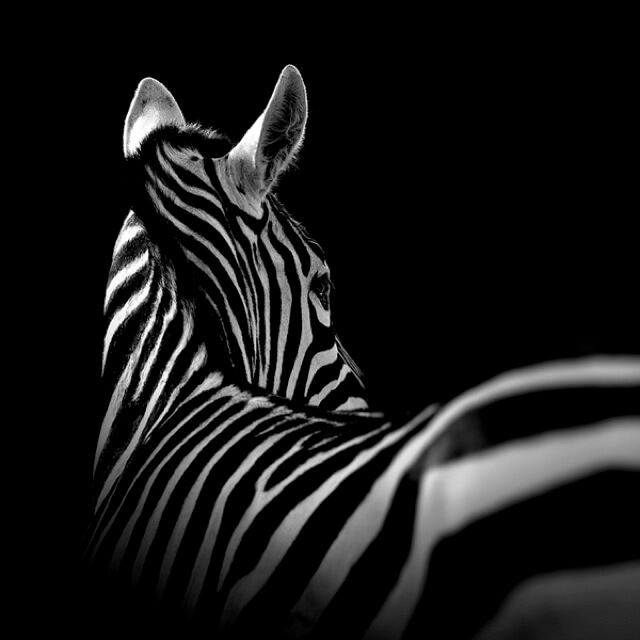 Black And White Animals By Lukas Holas 6 (1)