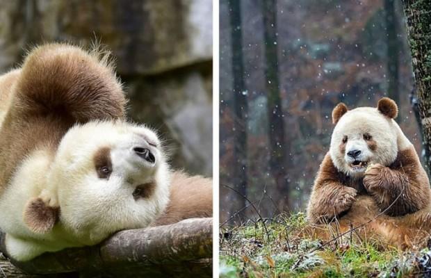 brown panda feat (1)