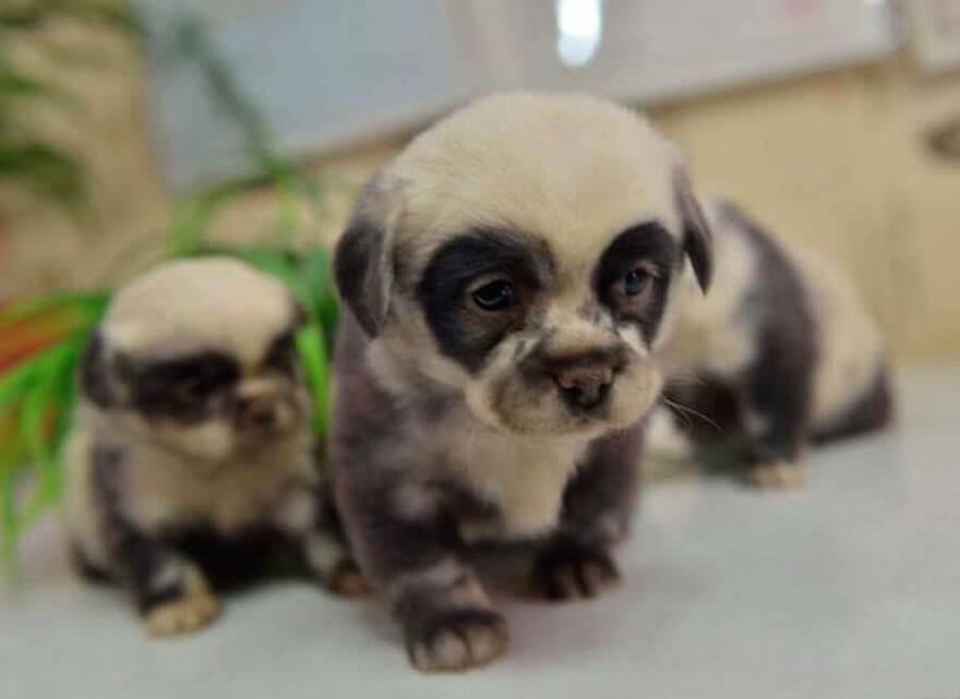 fat puppies 16 (1)