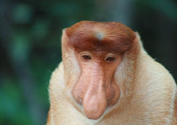 53 Funny Monkey Pictures That Prove Monkeys Are Just ... Funny Monkeys Smoking