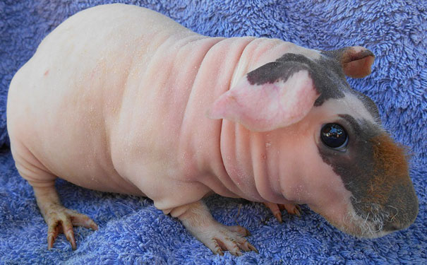 hairless animals you won't recognize 14 (1)