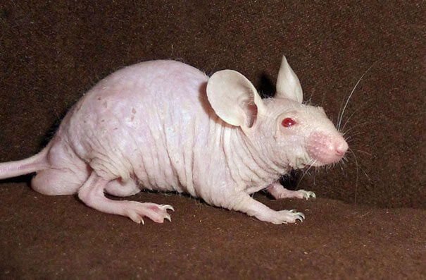 hairless animals you won't recognize 19 (1)