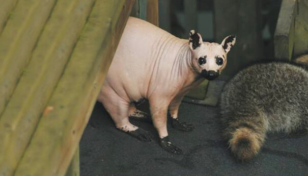 hairless animals are weird 9 (1)