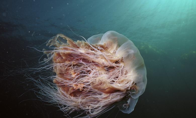 The biggest jellyfish in the world 2
