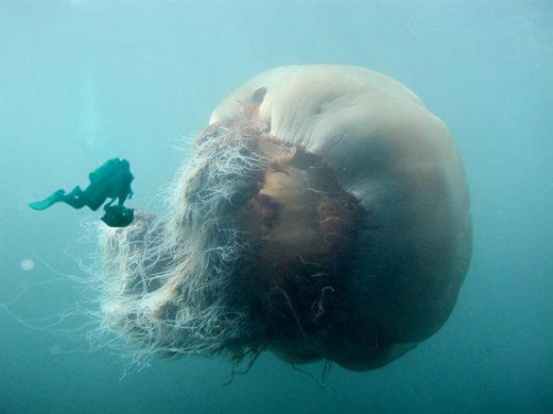 lion's mane jellyfish 3