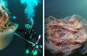 lion's mane jellyfish feat (1)